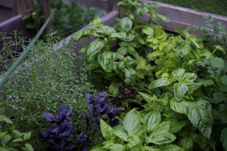 The great diversity of herbs inspires and transforms my cooking. Some of my favorites are epazote, essential for authentic Mexican dishes; delicate chervil; pungent rau ram (Vietnamese coriander); and several kinds of basil for pesto, pistou, flavored oils, and even cocktails.